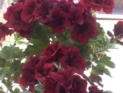 My favourite geranium